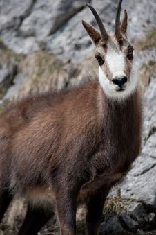 Free Mountain Goat Royalty Free Stock Image - 19047796