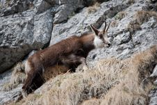 Free Mountain Goat Royalty Free Stock Photography - 19048117