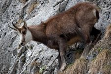Free Mountain Goat Royalty Free Stock Image - 19048936