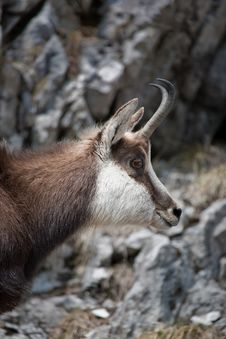 Free Mountain Goat Stock Image - 19049011