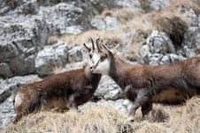 Mountain Goats Royalty Free Stock Photo
