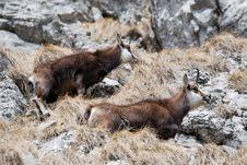 Free Wild Alpine Mountain Goats Stock Photo - 19049580