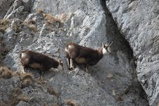 Mountain Goats On The Rocks Royalty Free Stock Photo