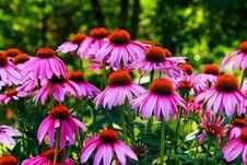 Free Echinacea Flowers Stock Image - 190411581