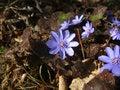Free Blue Wild Flower Stock Photo - 19052560