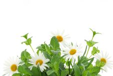 Free Fresh Mint Leaves With Daisy Royalty Free Stock Image - 19050666