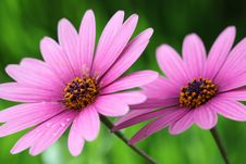 Free Purple Daisies Stock Images - 19050674