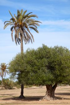 Free Date Palm And Olive Tree Stock Image - 19052641
