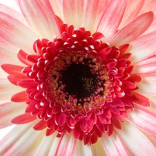 Pink Gerbera  Close-up Stock Photography