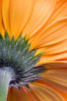 Free Orange Gerbera  Close-up Stock Photo - 19054570