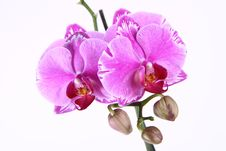 Free Orchid Royalty Free Stock Photography - 19054597