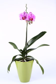 Free Orchid Royalty Free Stock Photography - 19054777