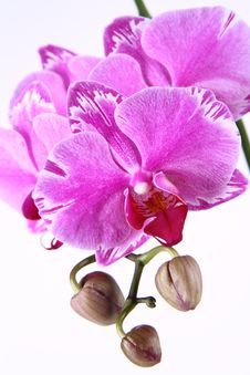 Free Orchid Flower Stock Image - 19054901