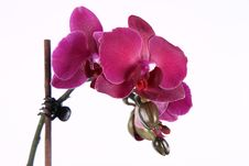 Free Orchid Stock Image - 19054981