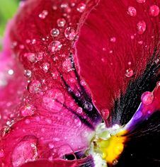 Raindrops On Flower Petals Royalty Free Stock Images