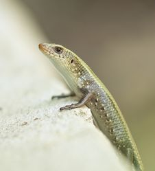 Free Speckled Forest Skink Stock Photo - 19059280