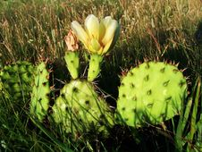 Free Prickly Pear Royalty Free Stock Photos - 19059638