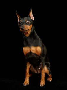 Free Black Miniature Pinscher Stock Image - 19059761