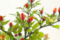 Free Peppers  Plant Royalty Free Stock Photo - 19068085