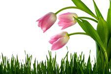 Free Tulips Stock Photos - 19062313