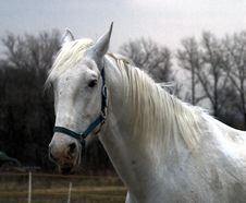Free White Horse Royalty Free Stock Image - 19063066