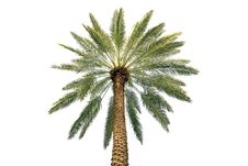 Free Palm Tree Crone Royalty Free Stock Images - 19063189