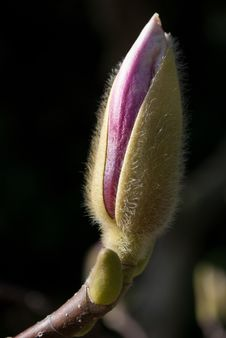 Flower Bud Stock Images