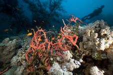 Free Toxic Finger Sponge And A Diver In The Red Sea. Royalty Free Stock Image - 19063476