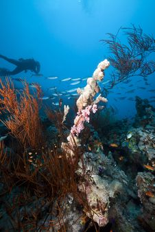 Free Underwater Scenery And A Diver In The Red Sea. Stock Image - 19063511