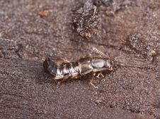 Rove Beetle Royalty Free Stock Image