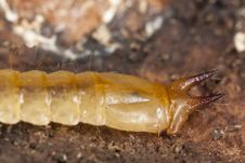 Free Cardinal Beetle Larvae Stock Photos - 19063873