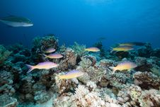 Free Goatfish And Trevally The Red Sea. Royalty Free Stock Photo - 19064185