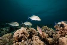 Free Goatfish And Trevally The Red Sea. Royalty Free Stock Images - 19064219