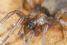 Stealthy Ground Spider (Gnaphosidae) Royalty Free Stock Photo