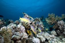 Free Goatfish And Trevally The Red Sea. Stock Photography - 19064242