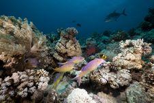 Free Goatfish And Trevally The Red Sea. Royalty Free Stock Photos - 19064258