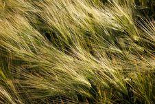Free Barley Field Royalty Free Stock Photo - 19065125