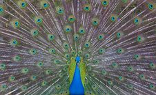Free Peacock Showing Off Stock Photos - 19065583