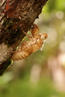 Free Exoskeleton Of A Cicada - Pomponia Imperatoria Stock Photo - 19066440
