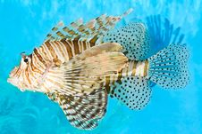 Free Lionfish Royalty Free Stock Photo - 19066855