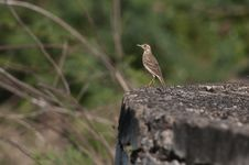 Free Paddy Field Pipit Stock Images - 19067074