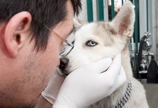 Free Husky Puppy At Vet Stock Photo - 19067790