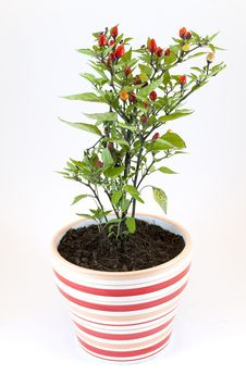 Free Peppers Potted Plant Royalty Free Stock Image - 19068076