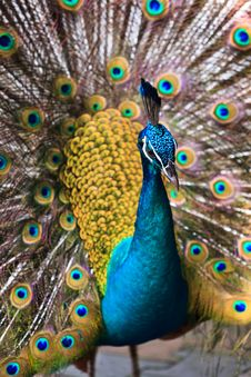 Free Indian Peacock Bird Proudly Showing His Feathers Stock Photos - 19068243