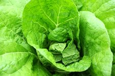 Free Celery Cabbage Stock Images - 19069904