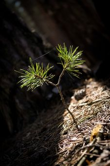 Free Pine Tree Sprout Stock Photo - 19072330