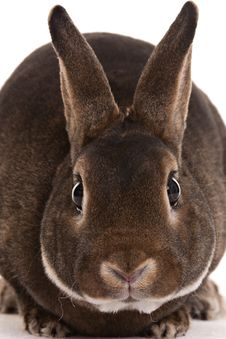 Free Brown Bunny Stock Image - 19072631