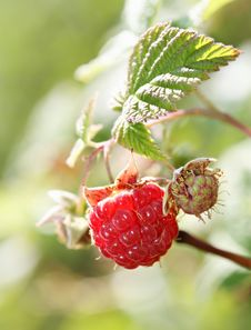 Free Red Raspberry Stock Photos - 19072923