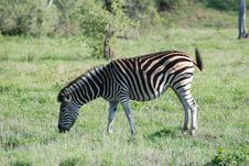 Free Zebra Grazing Stock Photo - 19073240