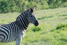Free Portrait Of A Zebra Stock Images - 19073264